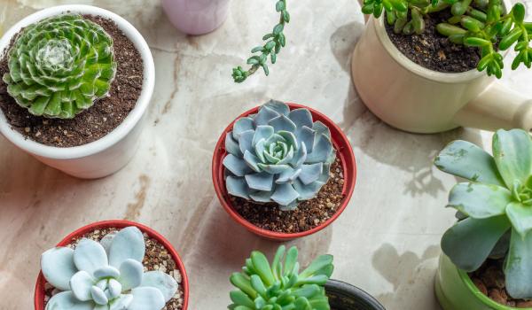 cactus suculenta favorita